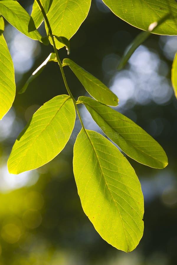 Folhas Novas Do Verde Fotografia de Stock