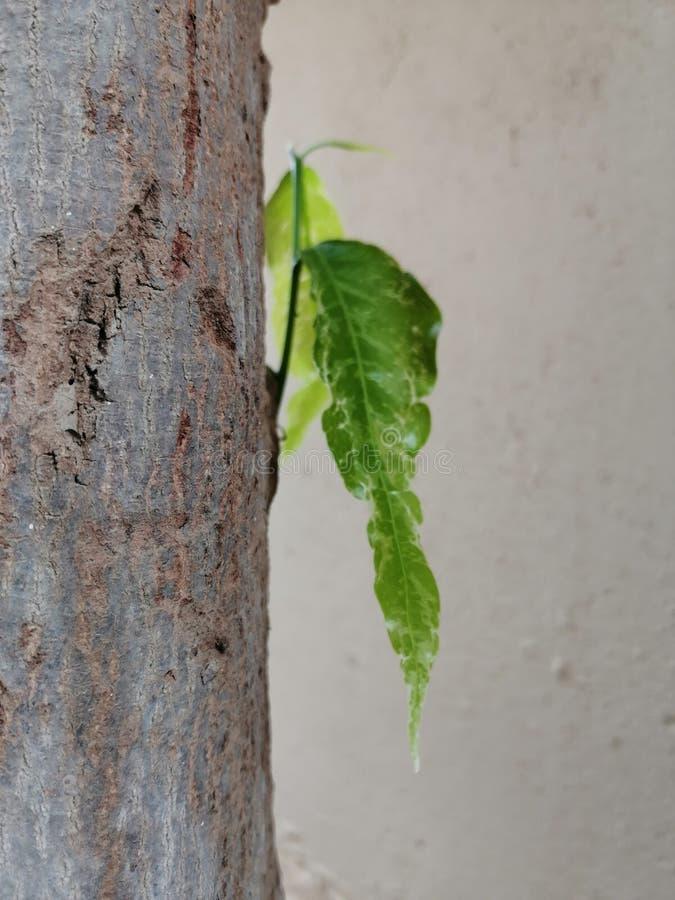 Folhas novas frescas que crescem fora do tronco de uma árvore fotos de stock