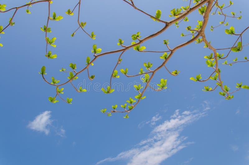 Folhas novas que crescem no fundo brilhante do céu azul imagem de stock