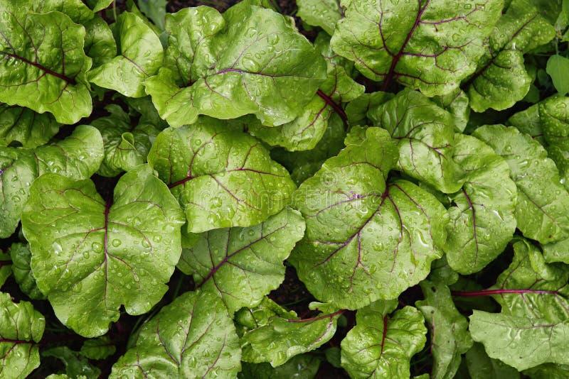 Folhas novas verdes das beterrabas que crescem no jardim foto de stock royalty free