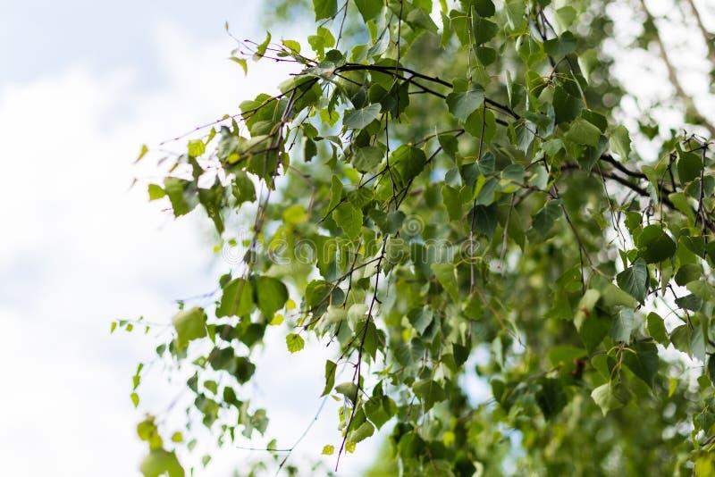 Folhas novas verdes frescas da ?rvore de vidoeiro na mola fotos de stock royalty free