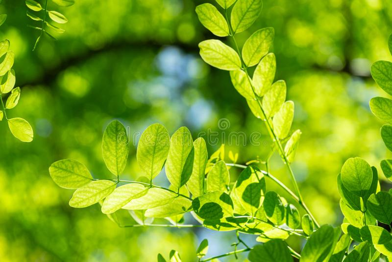 Folhas novas verdes macias de locustídeo pretos do pseudoacacia do Robinia, a acácia falsa através de que o sol brilha completame foto de stock royalty free