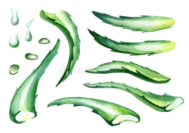 Folhas orgânicas e gotas de vera do aloés ajustadas Ilustração da aguarela ilustração stock