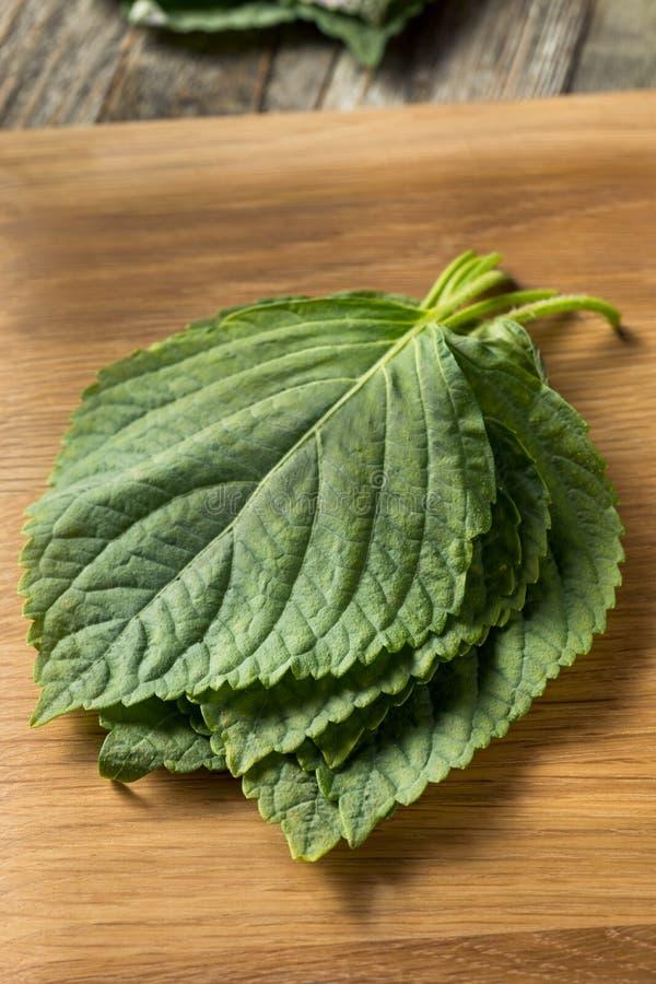 Folhas orgânicas verdes cruas do sésamo do Perilla imagens de stock royalty free