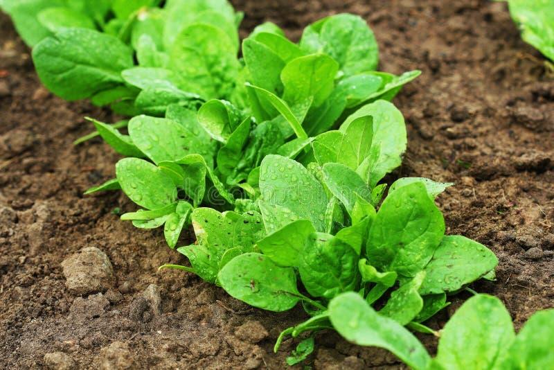 Folhas org?nicas frescas dos espinafres no jardim imagem de stock