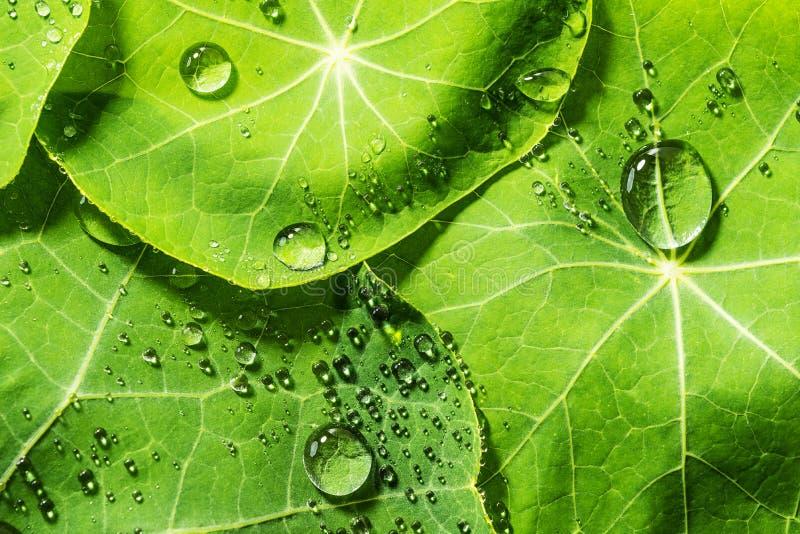 Folhas orvalhado verdes fotografia de stock royalty free
