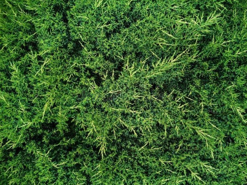 Folhas ou fundo verde da parede da árvore do arbusto fotos de stock