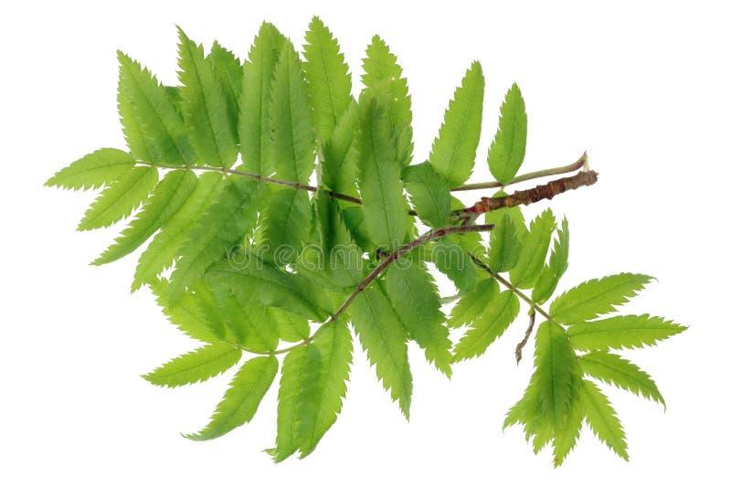 Folhas pequenas do wis dos ramos de abril da mola da floresta tr ashberry vermelho fotografia de stock royalty free