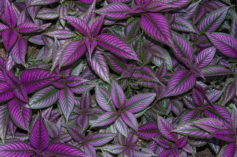 Folhas persas do protetor fotos de stock royalty free
