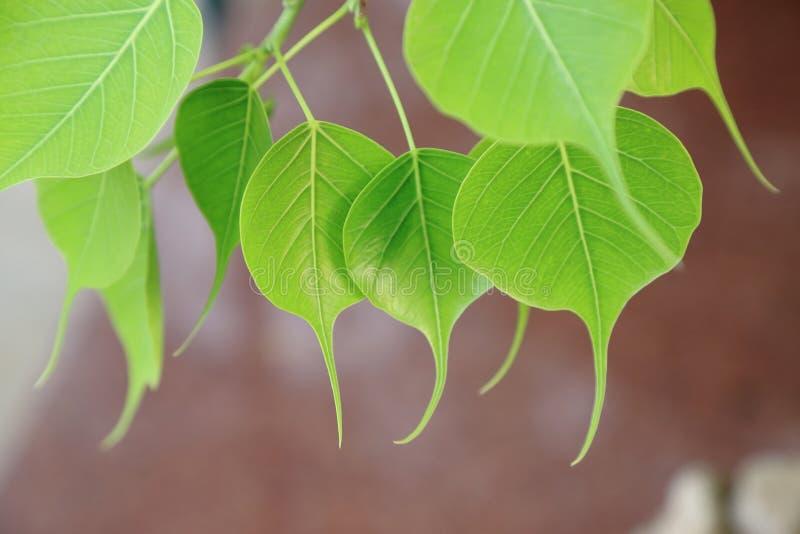 Folhas pipal novas Fundo verde da folha Cena da mola da natureza imagens de stock