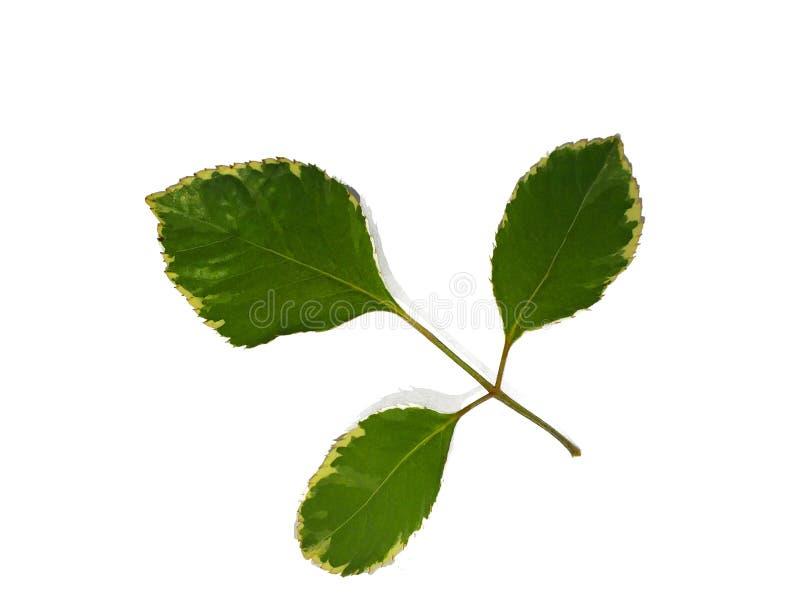 Folhas, plantas, folhas, cozinhando as pe?as isoladas do fundo branco foto de stock royalty free