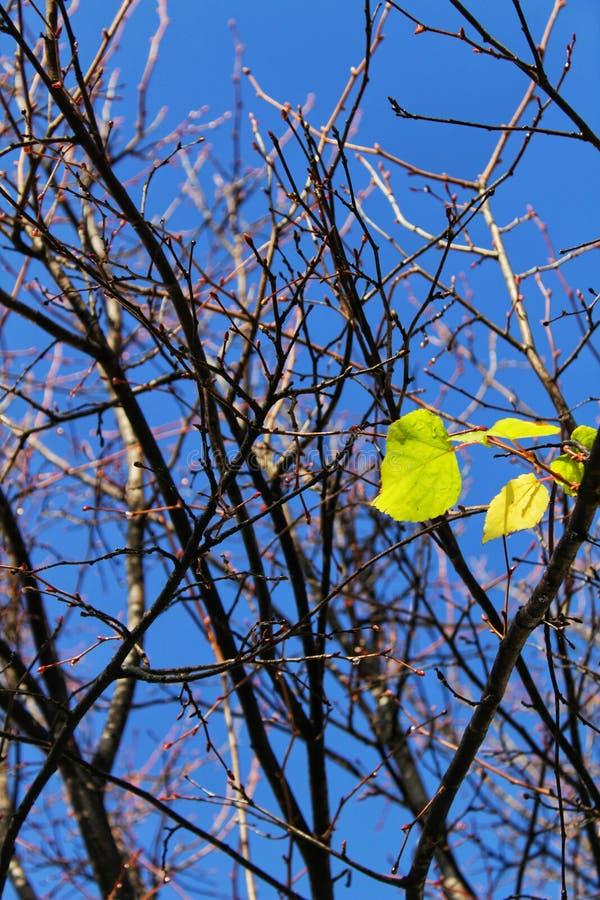 Folhas que brotam na árvore fotos de stock royalty free