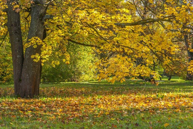 Folhas que caem de Autumn Tree fotografia de stock