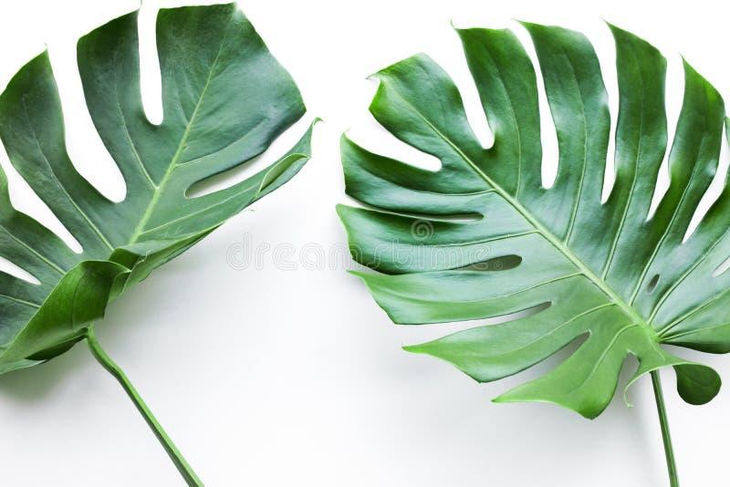 Folhas reais do monstera ajustadas no fundo branco Tropical, botânico fotografia de stock royalty free