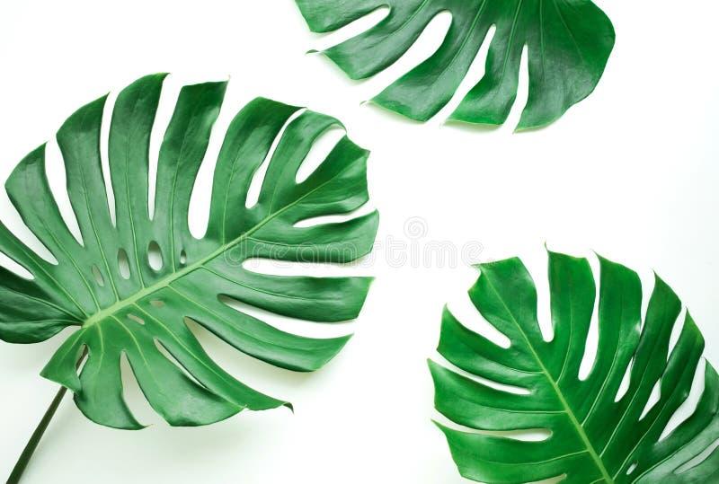 Folhas reais do monstera ajustadas no fundo branco Tropical, botânico fotografia de stock