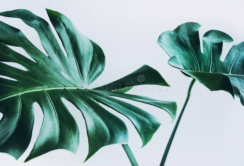 Folhas reais do monstera que decoram para o projeto da composição Tropical, foto de stock royalty free