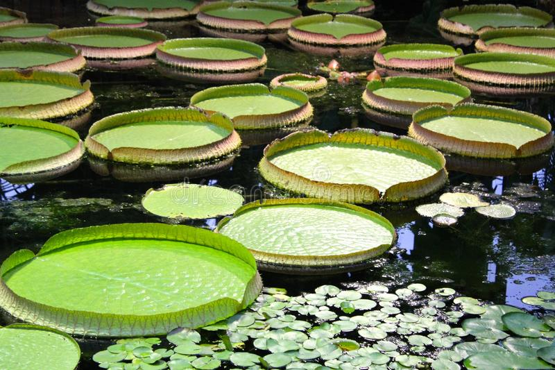 Folhas redondas do lírio de água fotografia de stock royalty free