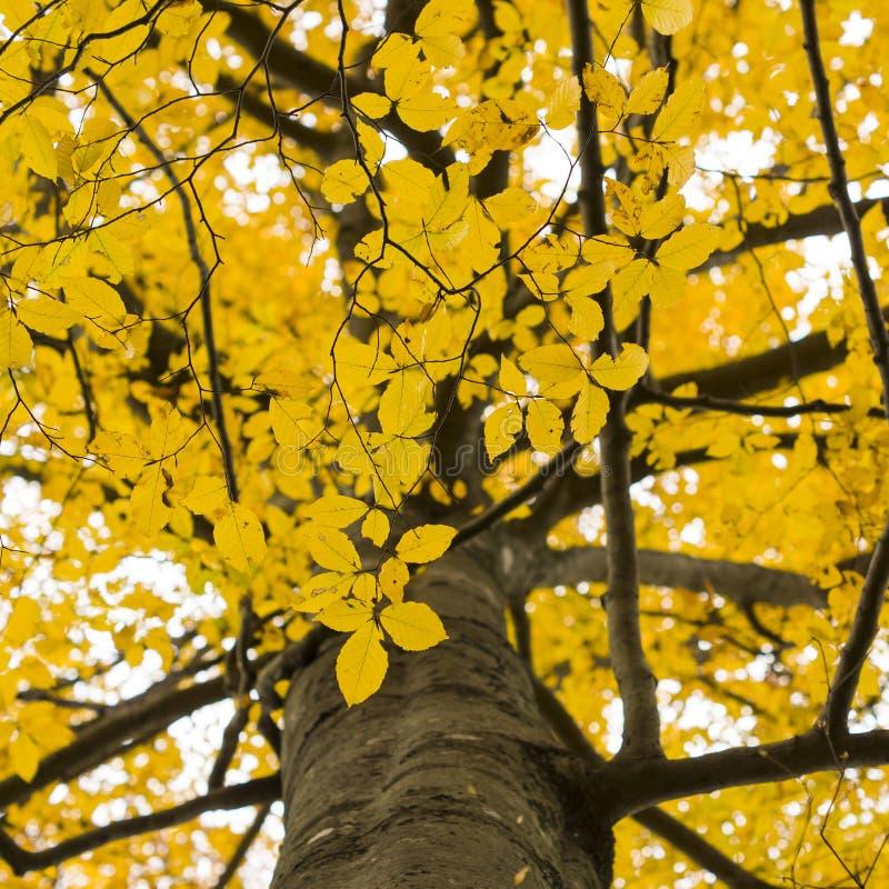 Folhas retroiluminadas em uma árvore no outono imagem de stock