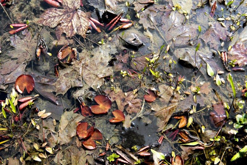 Folhas Rotting na água foto de stock royalty free