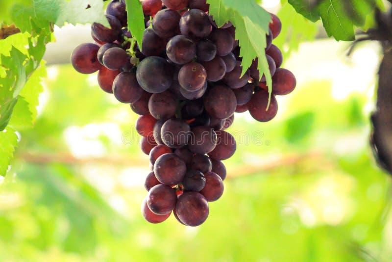 Folhas roxas da uva em jardins exteriores verdes fotos de stock