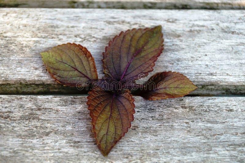 Folhas roxas do perilla do shiso imagem de stock royalty free