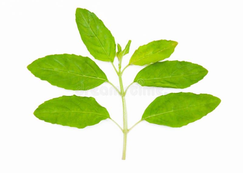 Folhas santamente da manjericão imagem de stock royalty free