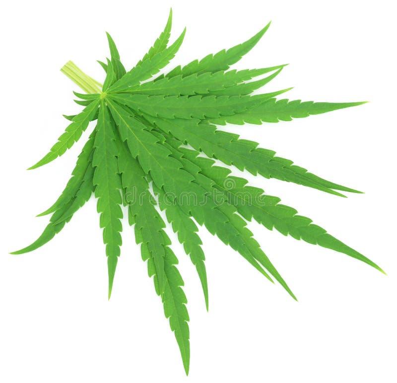 Folhas sativa ou medicinais do cannabis da marijuana fotografia de stock royalty free