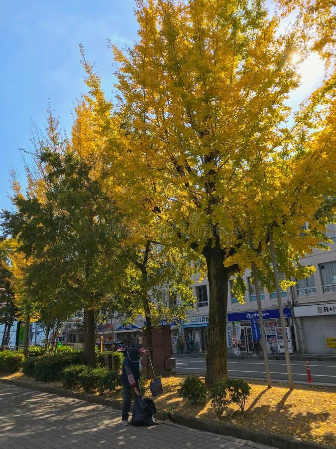 Folhas secadas não identificadas das varreduras de líquido de limpeza da mulher sob árvores do biloba da nogueira-do-Japão durant foto de stock