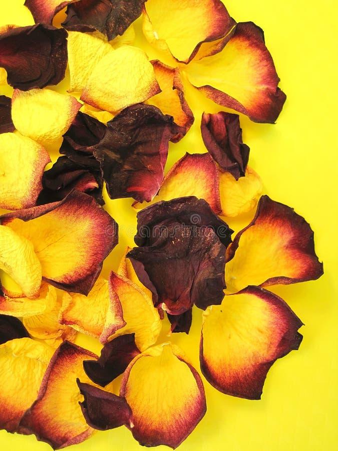 Folhas secas da rosa foto de stock royalty free