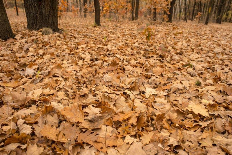 Folhas secas do carvalho fotografia de stock royalty free
