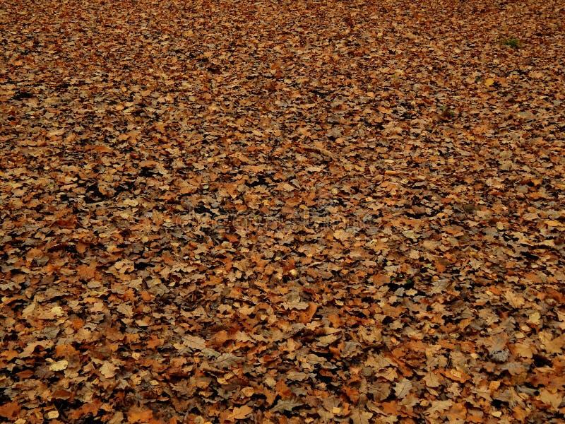 Folhas secas do carvalho do outono imagens de stock