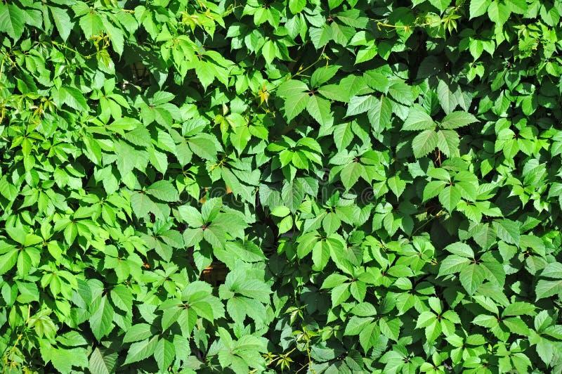 Folhas selvagens da videira foto de stock
