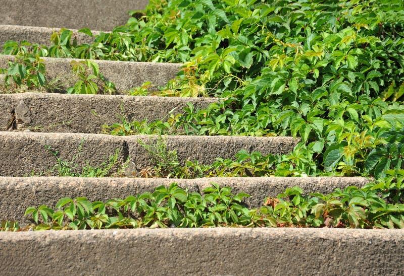 Folhas selvagens da videira na escadaria de pedra fotos de stock