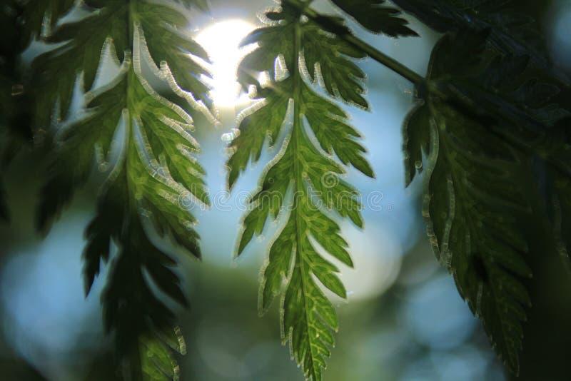 Folhas sol-iluminadas mágicas bonitas que penduram de um ramo da planta foto de stock royalty free