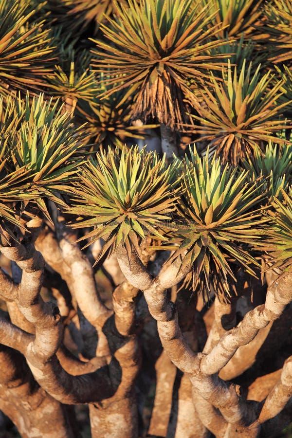 Folhas Spiky da árvore de dragão imagem de stock royalty free