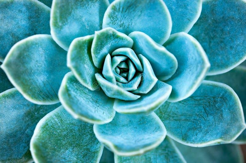 Folhas suculentos da planta imagem de stock