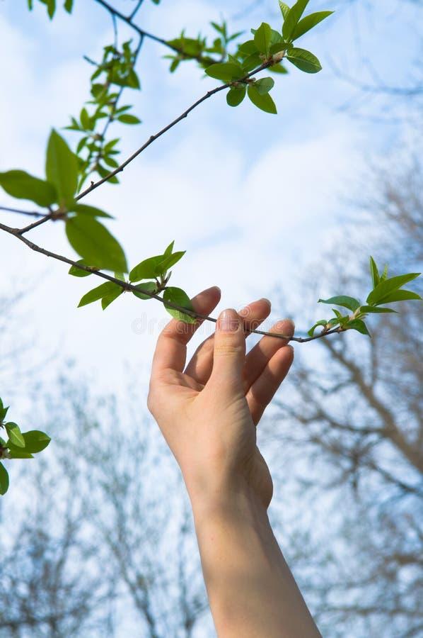 Folhas tocantes do verde da mão fotografia de stock royalty free