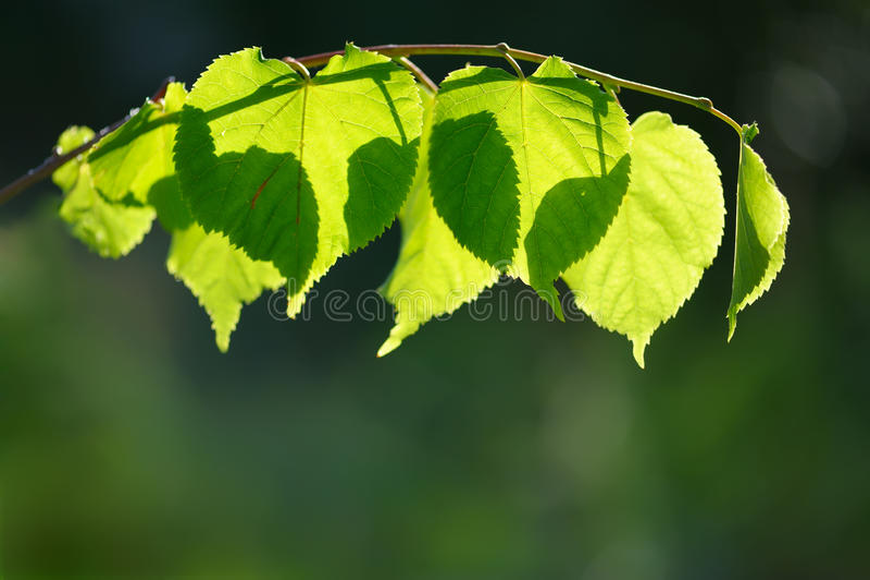 Folhas translúcidas backlit imagens de stock royalty free