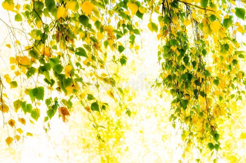 Download Folhas translúcidas foto de stock. Imagem de árvores - 29842134