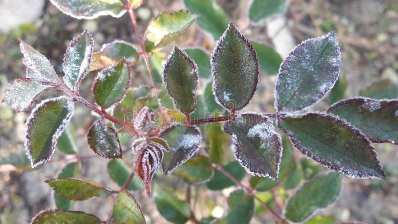 Folhas travadas em uma geada coberta em cristais de gelo imagens de stock