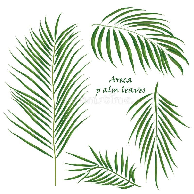 Folhas tropicais da areca da palma do ramo desenho realístico no estilo liso da cor Isolado no fundo branco ilustração do vetor