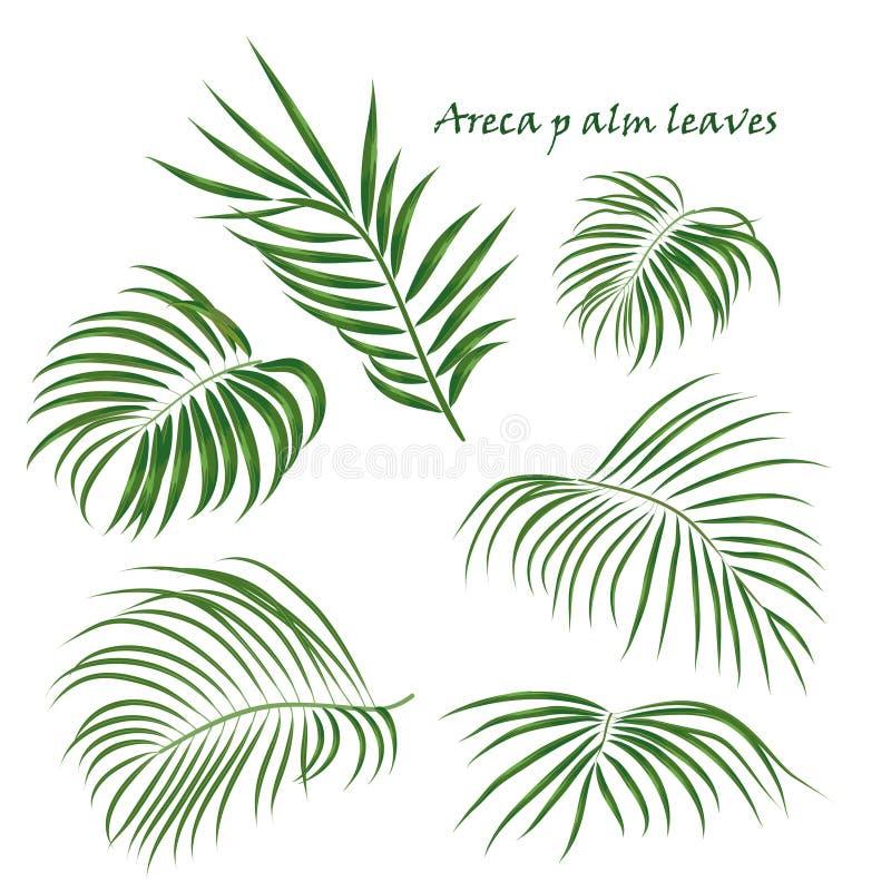 Folhas tropicais da areca da palma do ramo desenho realístico no estilo liso da cor Isolado no fundo branco ilustração stock