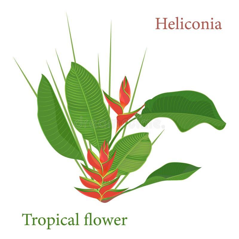 Folhas tropicais da flor do heliconia do ramo Desenho realístico da aquarela no estilo liso da cor Isolado no fundo branco ilustração stock