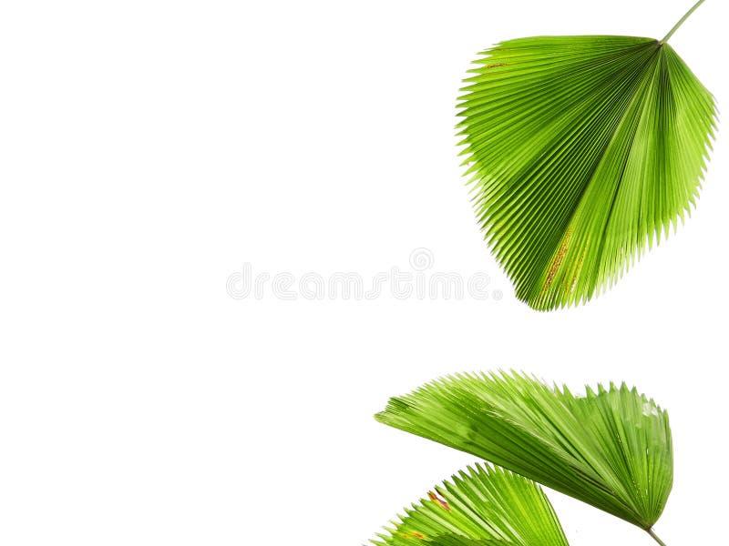 Folhas tropicais, folhas de palmeira verdes, fundo branco imagem de stock
