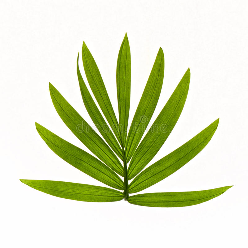 Folhas tropicais isoladas no fundo branco foto de stock