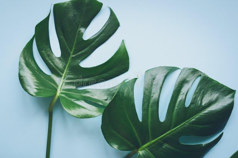 Folhas tropicais Monstera foto de stock