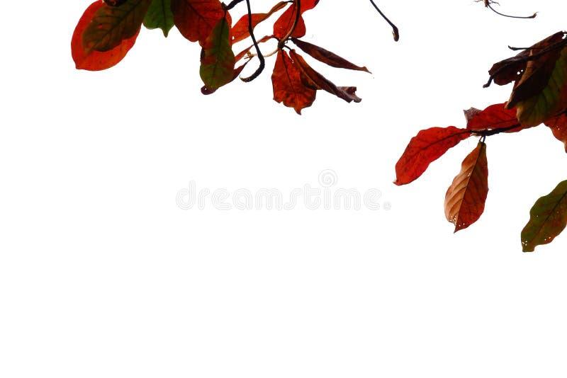 Folhas tropicais vermelhas da árvore com ramos no fundo isolado branco imagem de stock royalty free