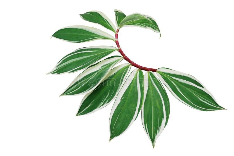 Folhas variegated verdes do gengibre espiral ou do gengibre do crepe com o speciosus vermelho Variegata de Costus da haste a plan fotografia de stock