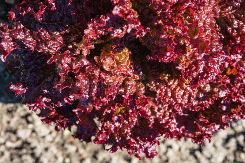 folhas vegetais roxas, comer saudável, alimento do vegetariano Feche acima da planta verde da couve encaracolado em um jardim veg fotografia de stock royalty free