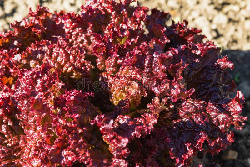 folhas vegetais roxas, comer saudável, alimento do vegetariano Feche acima da planta verde da couve encaracolado em um jardim veg imagens de stock